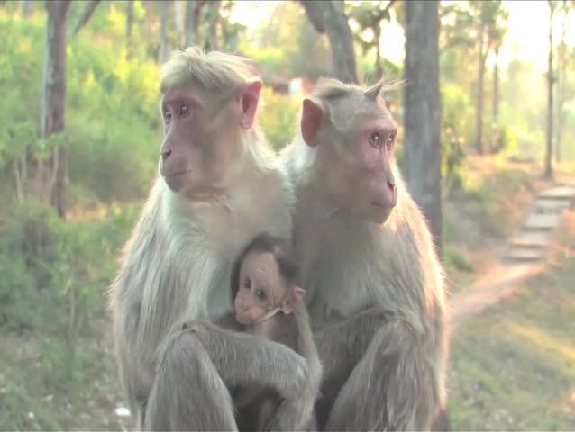 Langur Monkey in Mudhumalai Wildlife Reserve, India - SD stock footage clip