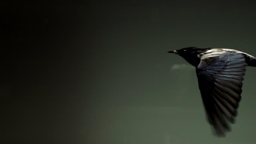 Starlings flying in wind tunnel in slow motion