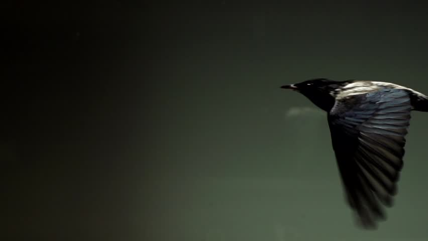 Starlings flying in wind tunnel in slow motion - HD stock video clip