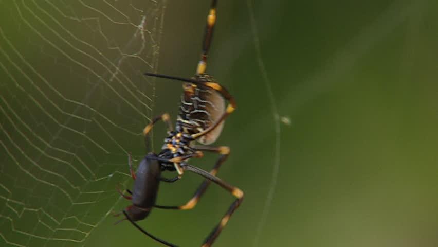 Nephila spider - SD stock video clip