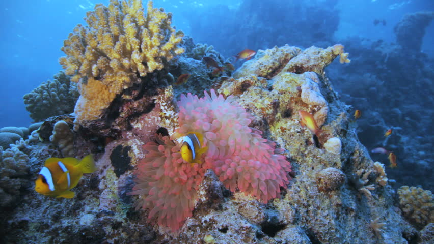 pink anemone with clown on top - HD stock video clip