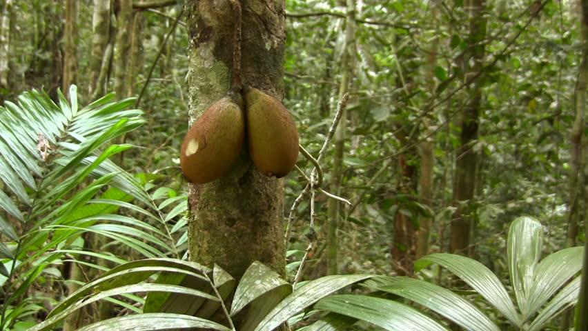 Fruit of Piton tree (Grias neuberthi) in the Ecuadorian Amazon - HD stock video clip