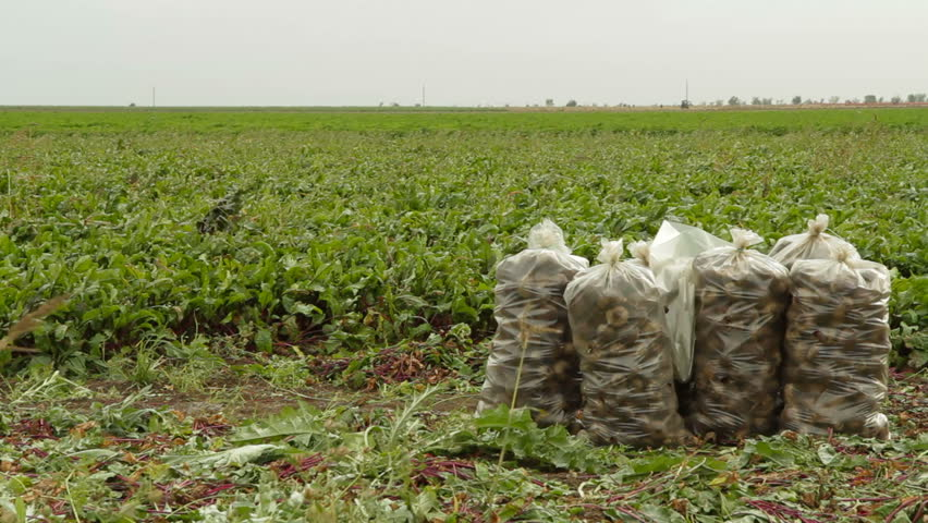 Pan shot of sacks of beet on the field. - HD stock footage clip