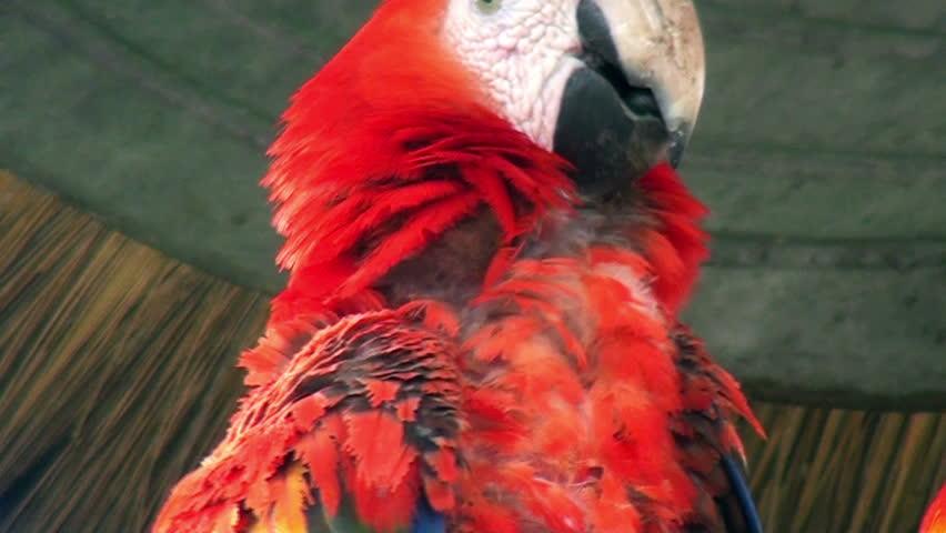 scarlet macaw birds high - photo #22
