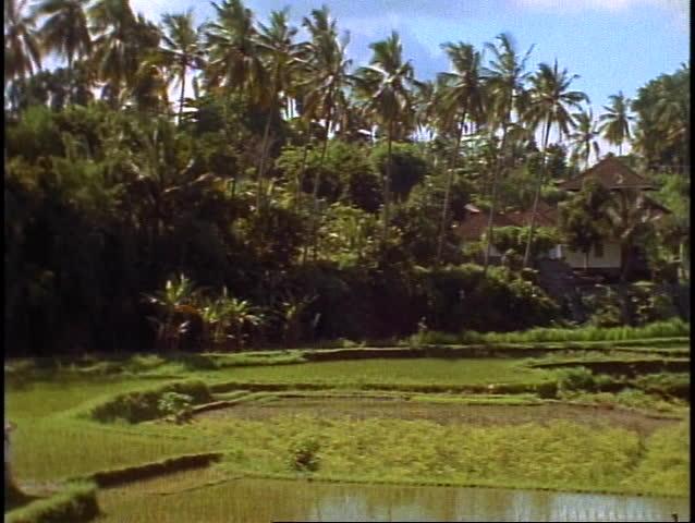 Bali, jungle, palms, rice fields, wide shot