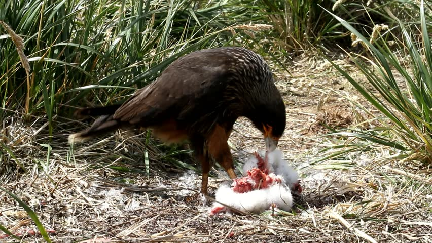 Brown Skua hunting a young Gentoo penguin, Falkland Island - HD stock video clip