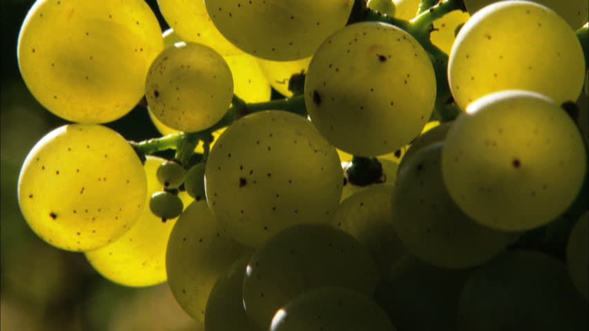 Vineyards&Wine/Agriculture/Italy - HD stock footage clip
