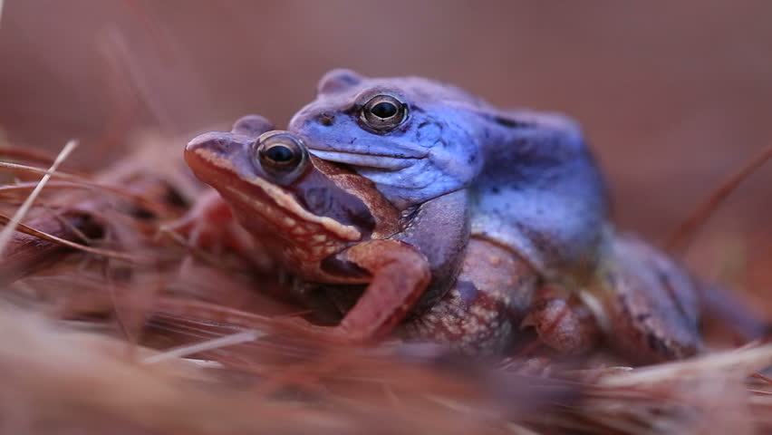 frogs mating