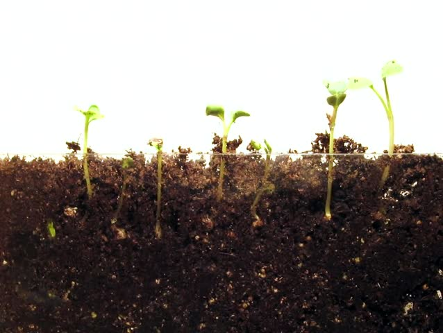 Radish Seed Time-Lapse - A time-lapse of radish seeds growing, with both the roots and shoots visible. Soil.