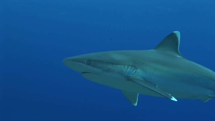 Silvertip Sharks Cruising The Reef Stock Footage Video ...