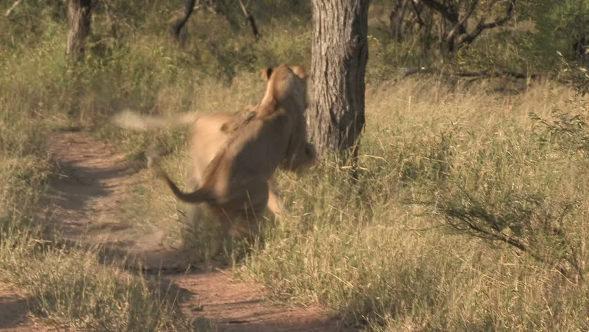 Lions walking together - photo#9