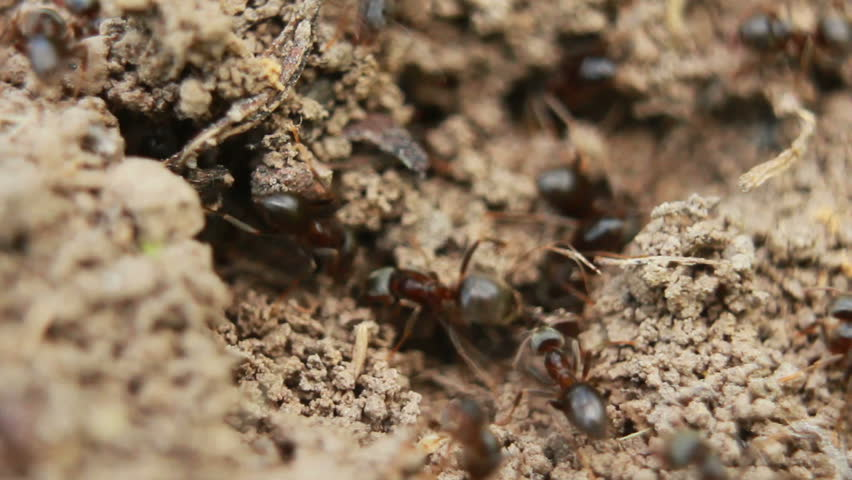 ants crawling on the ant-hill fast