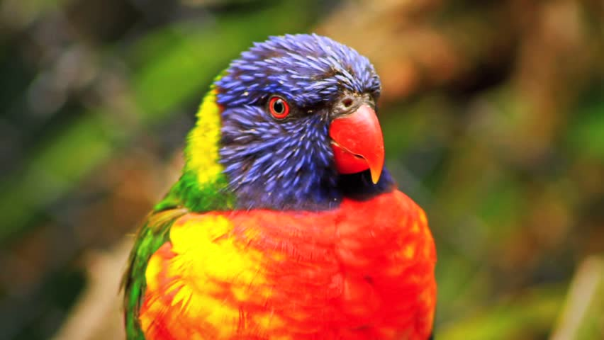 Rainbow Lorikeet Opening Mouth, Colourful Bird - Close Up