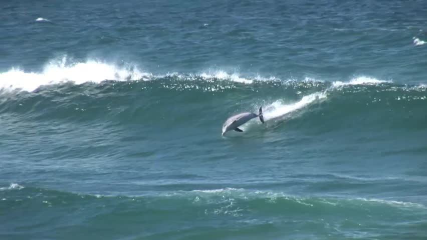 A dolphin jumps out of a wave in Sydney Australia - HD stock footage clip