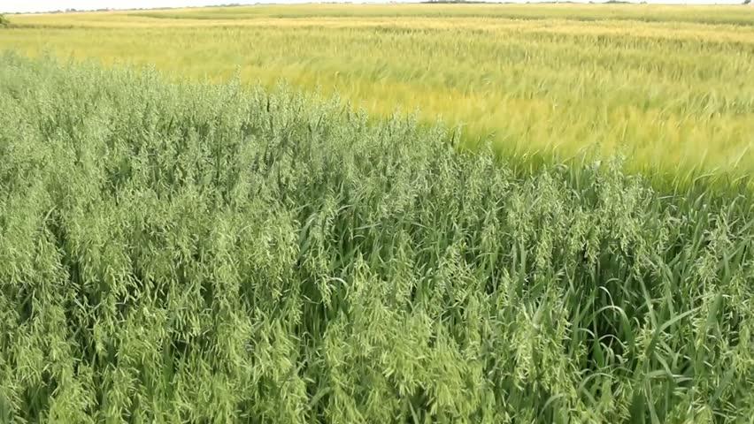 barley fields by nitrok - photo #31