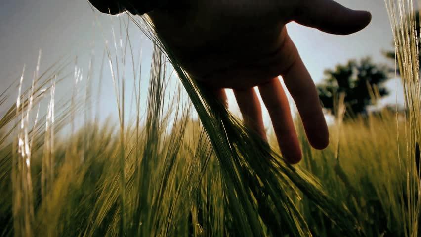 hand of farmer touching wheat grass harvest