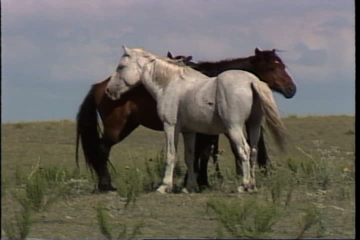 Two wild horses standing calmly on plains, two more walk past. | Shutterstock HD Video #4155604