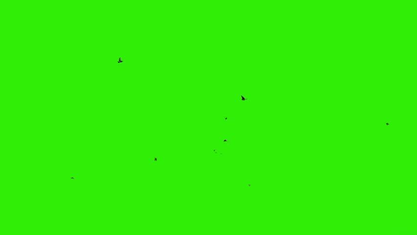 Pigeons flying against green screen