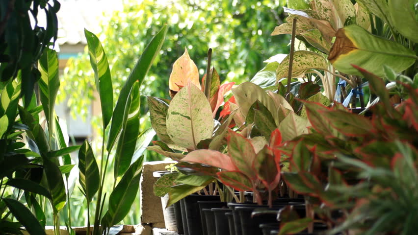 Header of Aglaonema