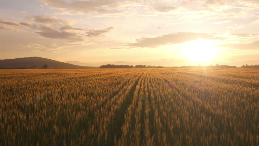 AERIAL: Flight over the wheat field in sunset | Shutterstock HD Video #4190911