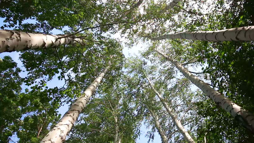 Top of summer birch trees with sun shining - dolly shot | Shutterstock HD Video #4209640