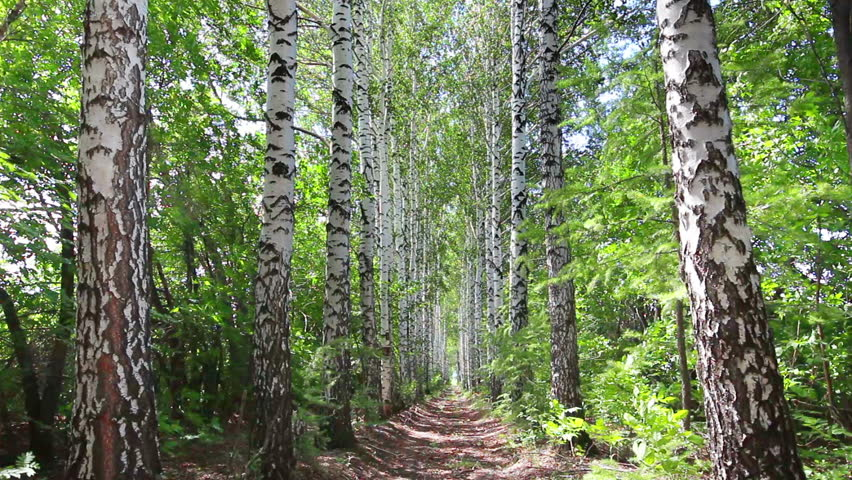 summer birch woods alley in Russia - dolly shot - HD stock video clip