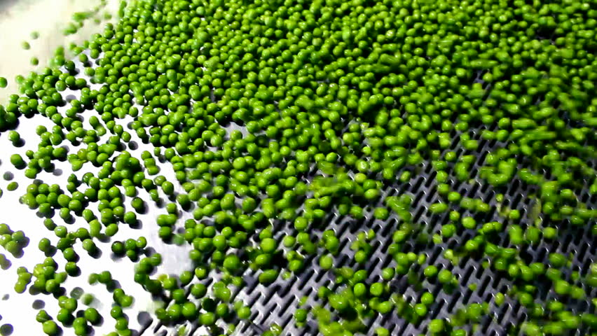 Healthy Food ; fresh green peas on a treadmill in the production and processing in food industry,video clip - HD stock footage clip