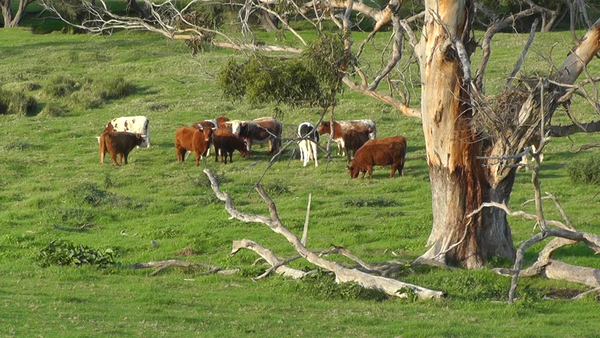 A mixed herd of cattle in the caves road area of margaret for Landscapers adelaide western suburbs