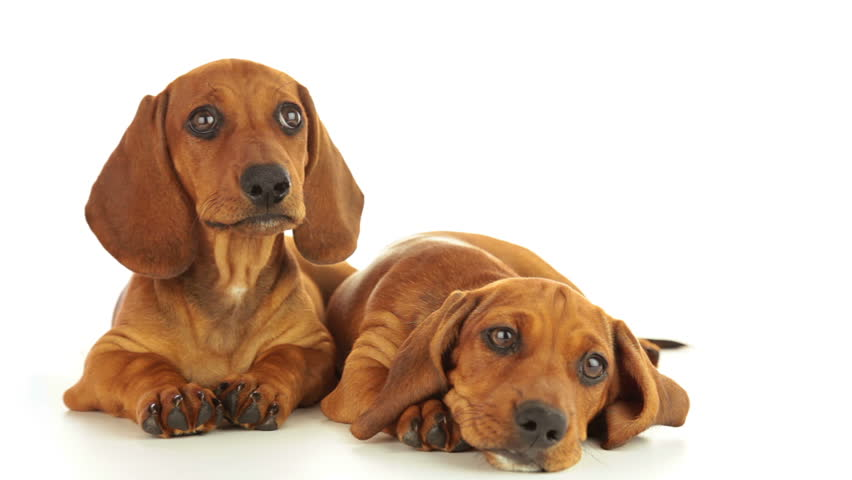 Dachshund puppies. One puppy is calm. The second puppy shakes his head. White background - HD stock video clip