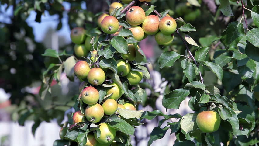 Background Of Green And Red Apples On Apple Tree Branch ...