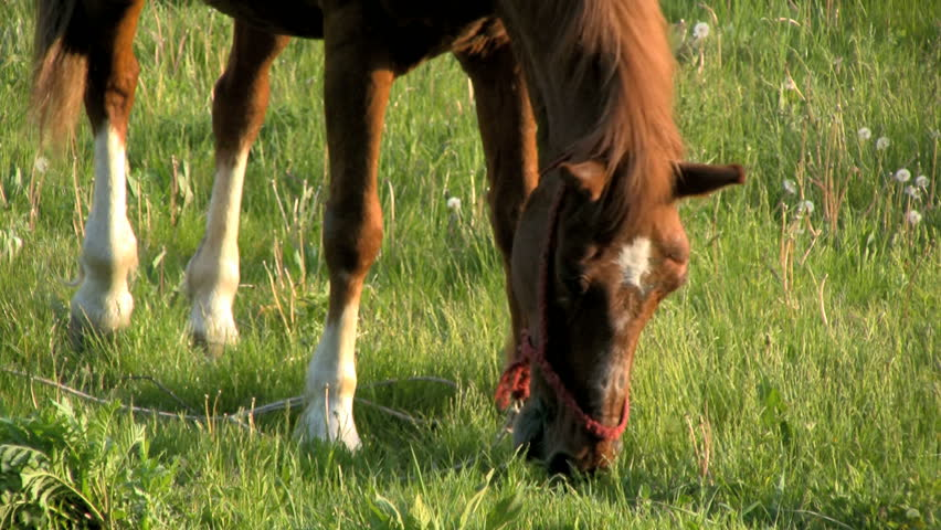 Grazing horse. - HD stock footage clip