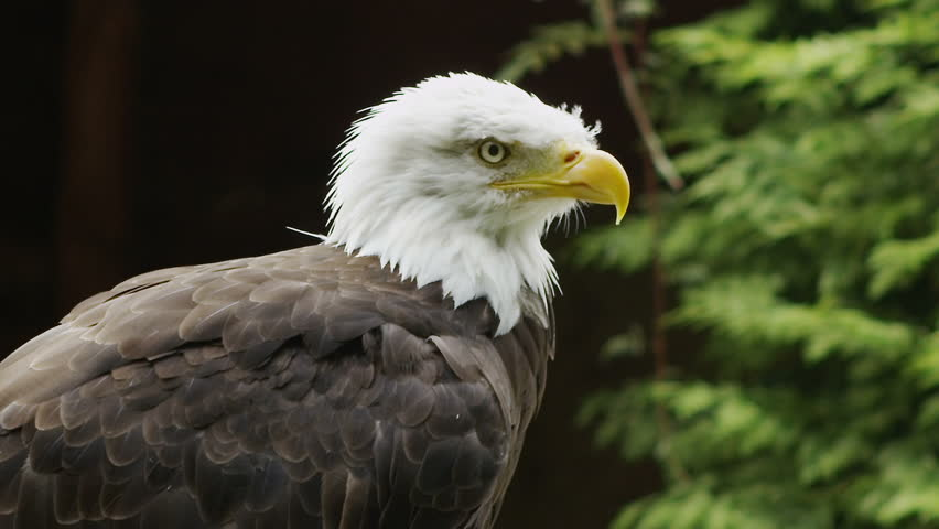 USA American Bald Eagle - HD stock video clip