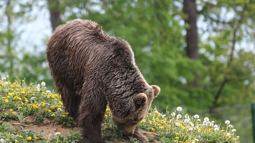 Latest Photo Galleries and Pictures | Getty Images  |Brown Bear Food