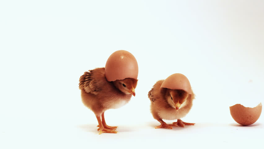 Baby chicks with shell on head.