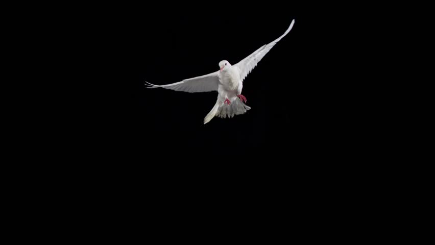 White bird flapping on black background shooting with high speed camera, phantom flex.