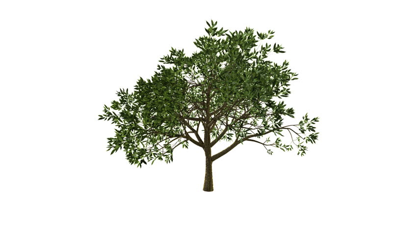 Growing Tree (Alpha Version available in Portfolio) - HD stock video clip