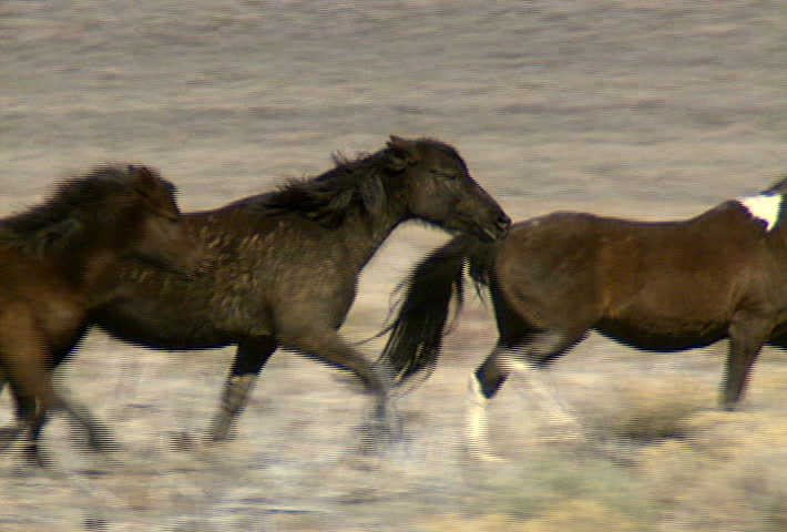 A group of wild horses galloping in the mountains near Reno, Nevada.