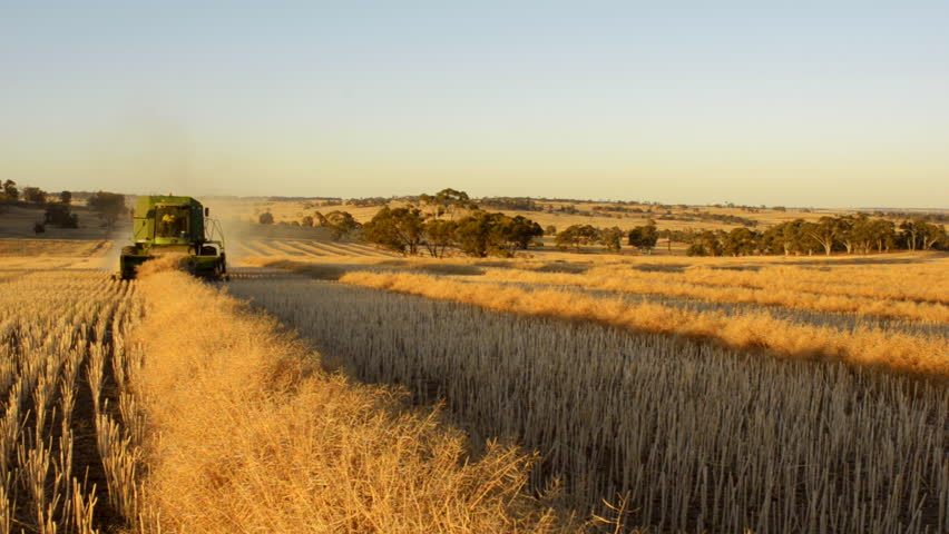 WAGIN, AUSTRALIA - NOVEMBER 20 2012: The sun setting on an Australian farmer harvesting a canola crop, that has been swathed into windrows ready for harvest.