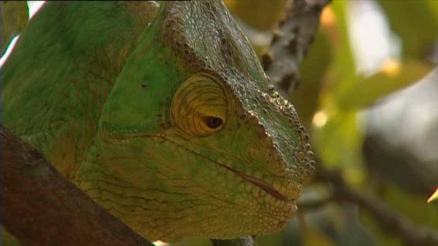 Chameleon green eating - HD stock footage clip