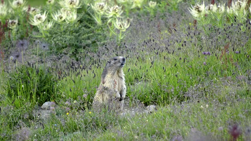 Header of Alpine Marmot