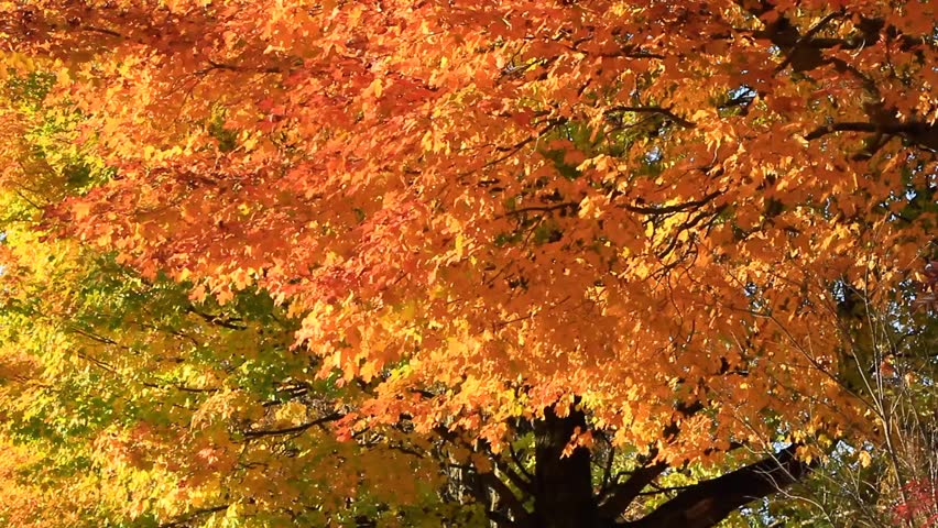Autumn foliage of vibrant sunset colors of orange and yellows