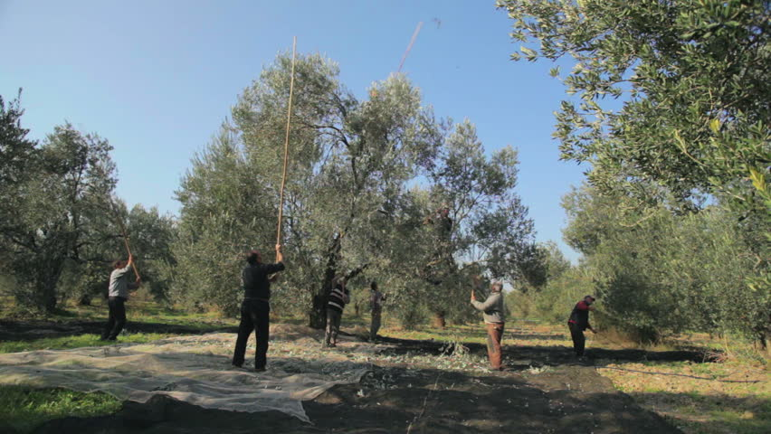 Harvesting Olive Tree by Wooden Stick. The old method harvesting, collecting olives with stick in the plant. Original Professional Full HD Shot; High Definition Footage