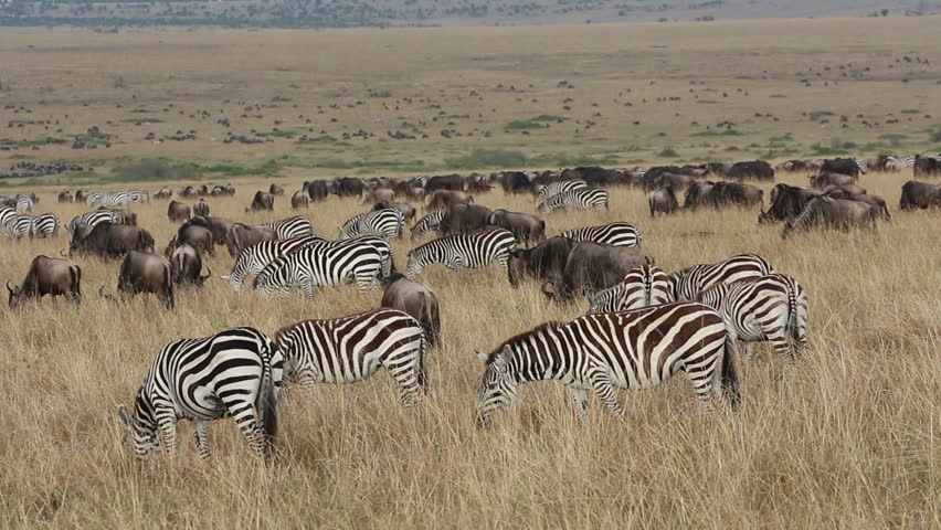 Large herd of blue wildebeest and plains zebras grazing on the grasslands of Masai Mara, Kenya - HD stock video clip