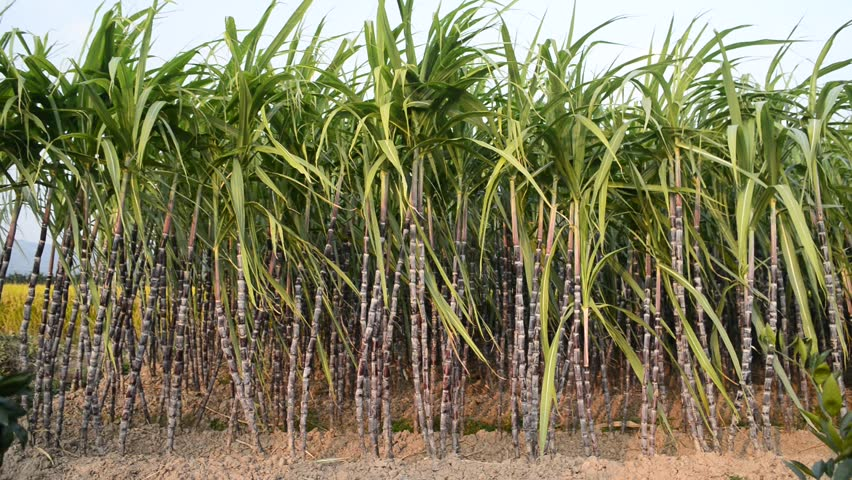 Sugar Cane Plantation Stock Footage Video 4960547 ...