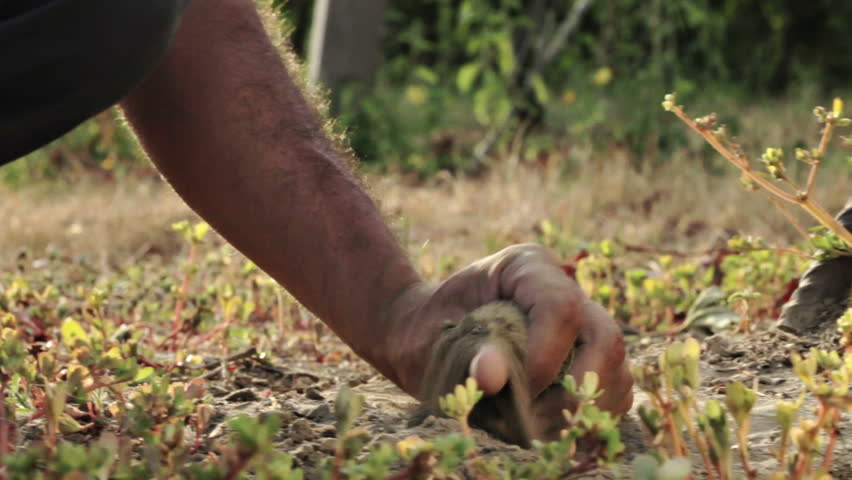 Farmer's hand touching his field soil. Tracking shot
