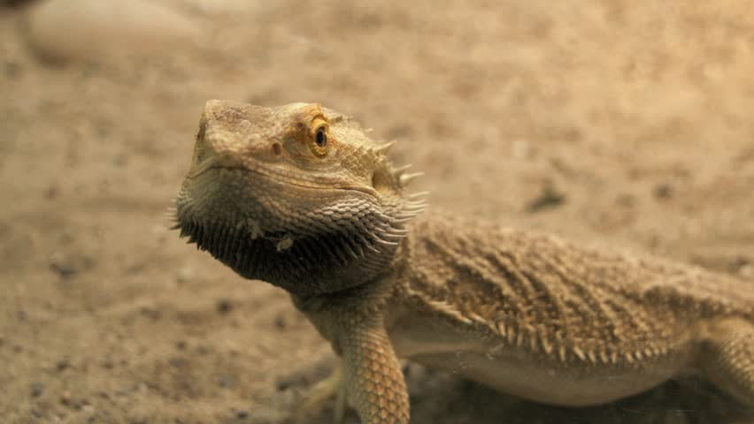lizard close up. reptile. dry sand environment. wildlife nature - HD stock footage clip