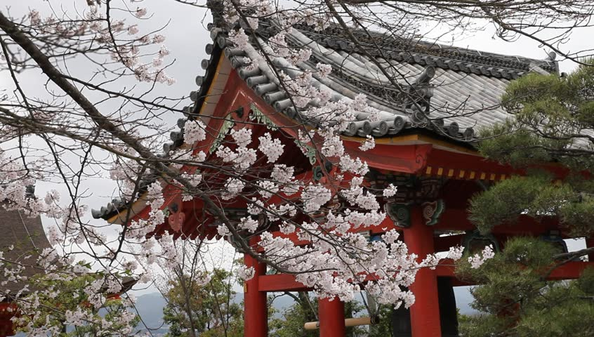 Peaceful scenery of cherry blossom  in the Japanese temple style, spring season, Japan - HD stock footage clip