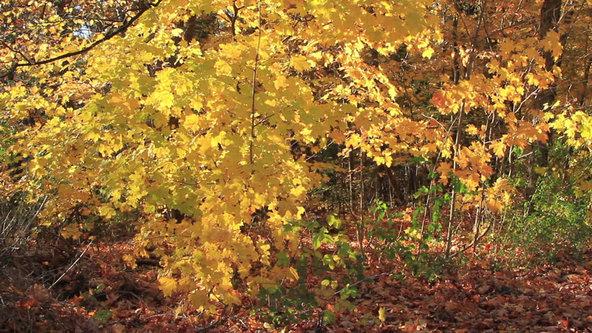 Beautiful Autumn landscape of sunset colored trees and rust-colored leaves that covers the ground