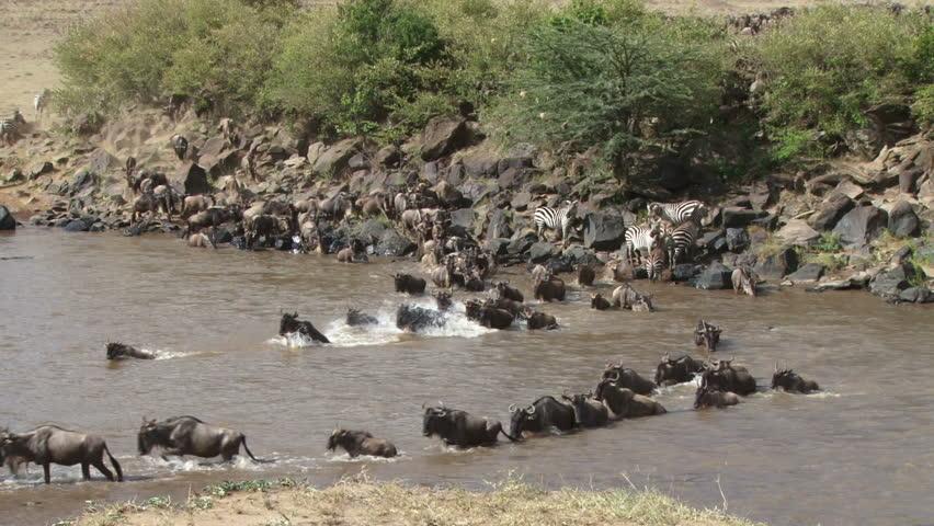 wildebeests crossing mara river facing the camera 1.