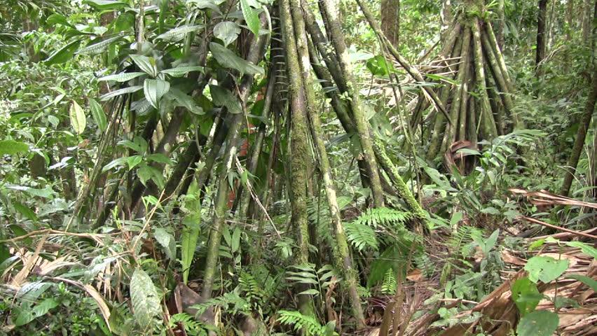 Stilt roots of the Amazonian palm (Iriartea deltoidea) - HD stock video clip